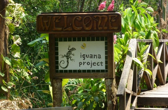 GreenIguanaConservationProject