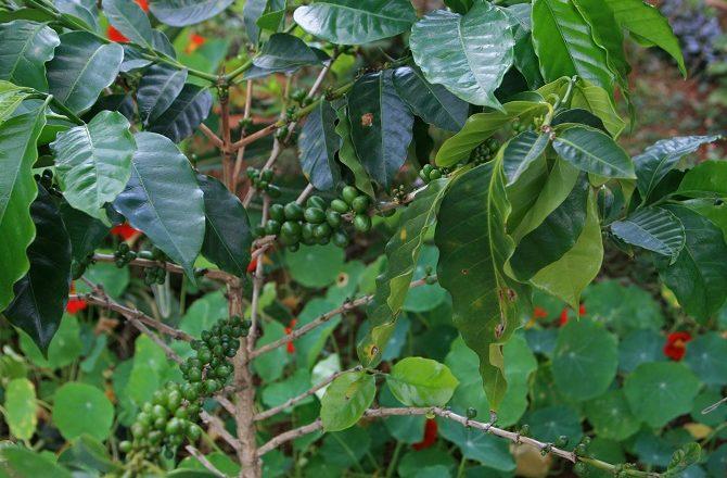 A coffee tree in Guatemala