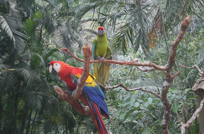 Rescued Macaws at the Macaw Mountain Park in Copan