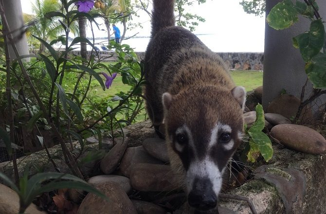 Rocky, a pet Coatimundi at Almond Tree Resort in Corozal