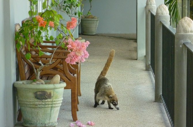 Rocky the Coatimundi going for a stroll around Almond Tree Resort