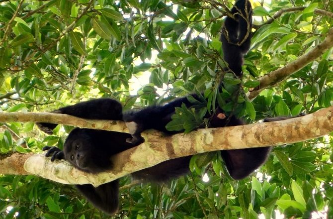 A howler monkey relaxing in a tree