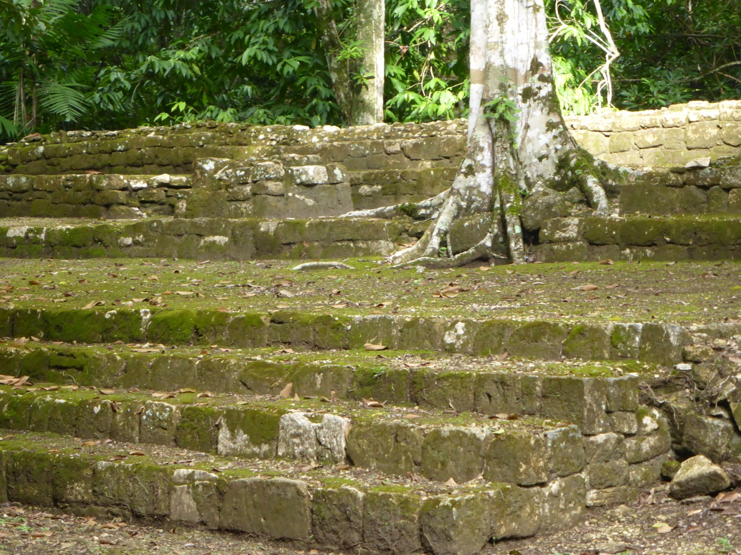 Tree growing on Mayan ruins at Ceibal, Guatemala