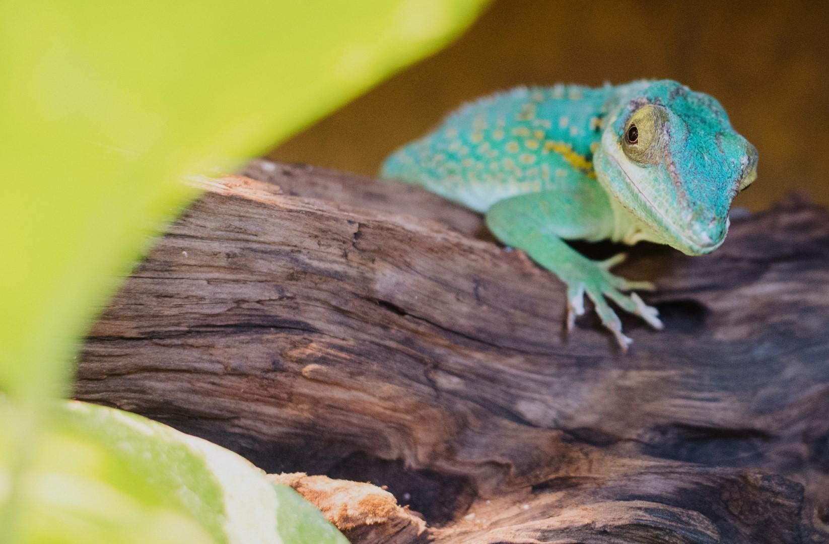 Close-up of a lizard in Baracoa Cuba
