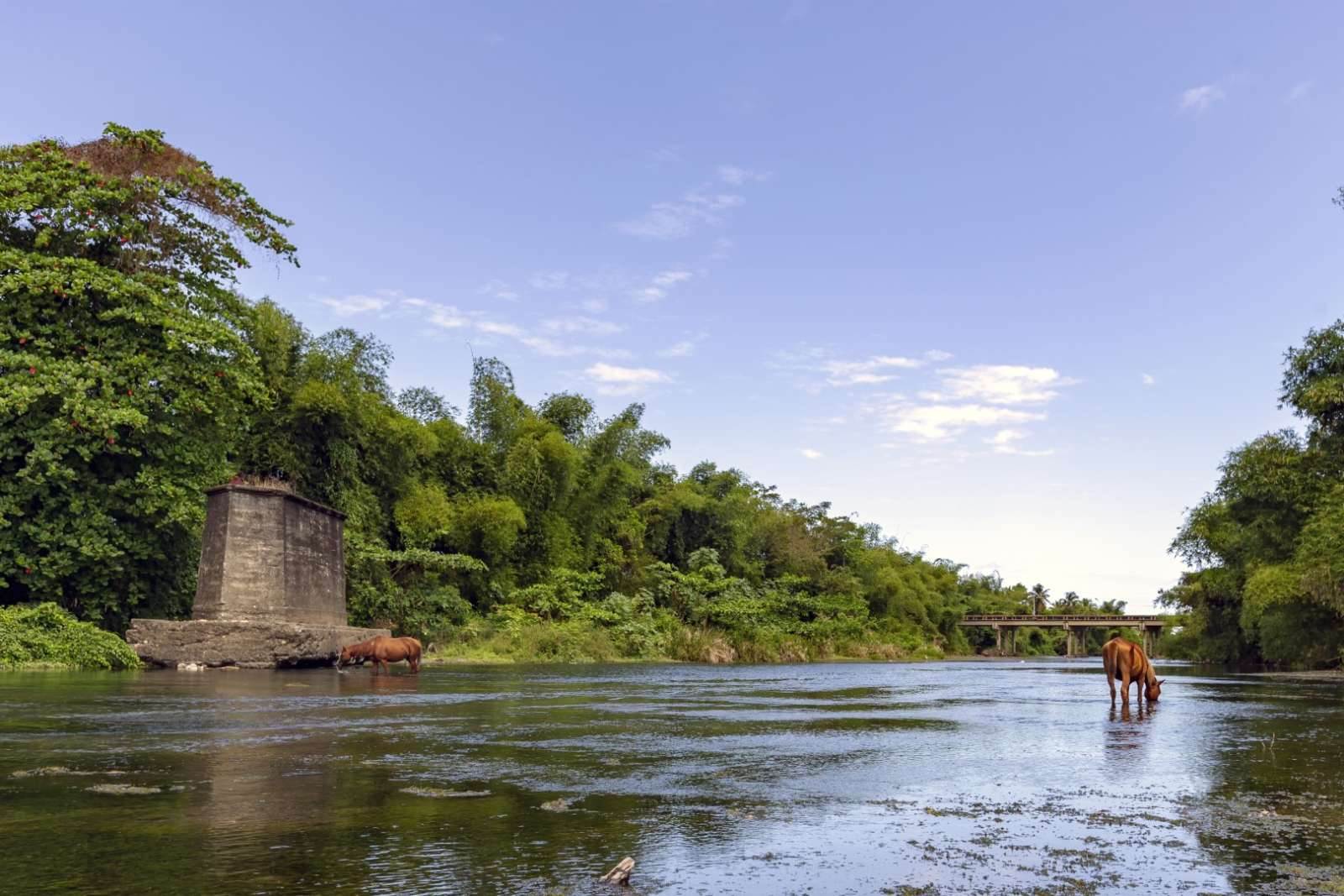 Horse drinking in the Rio Miel near Baracoa Cuba
