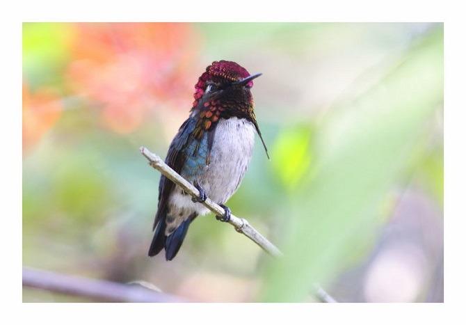 The Bee Hummingbird in Cuba