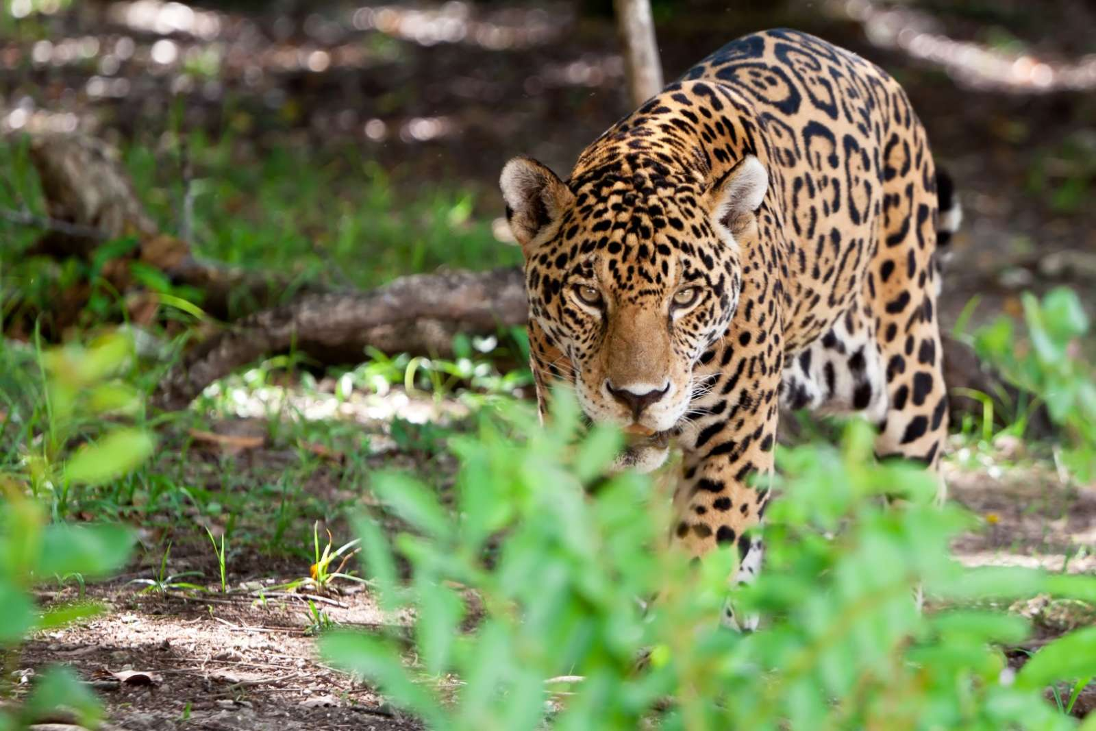 Jaguar in Calakmul in Mexico