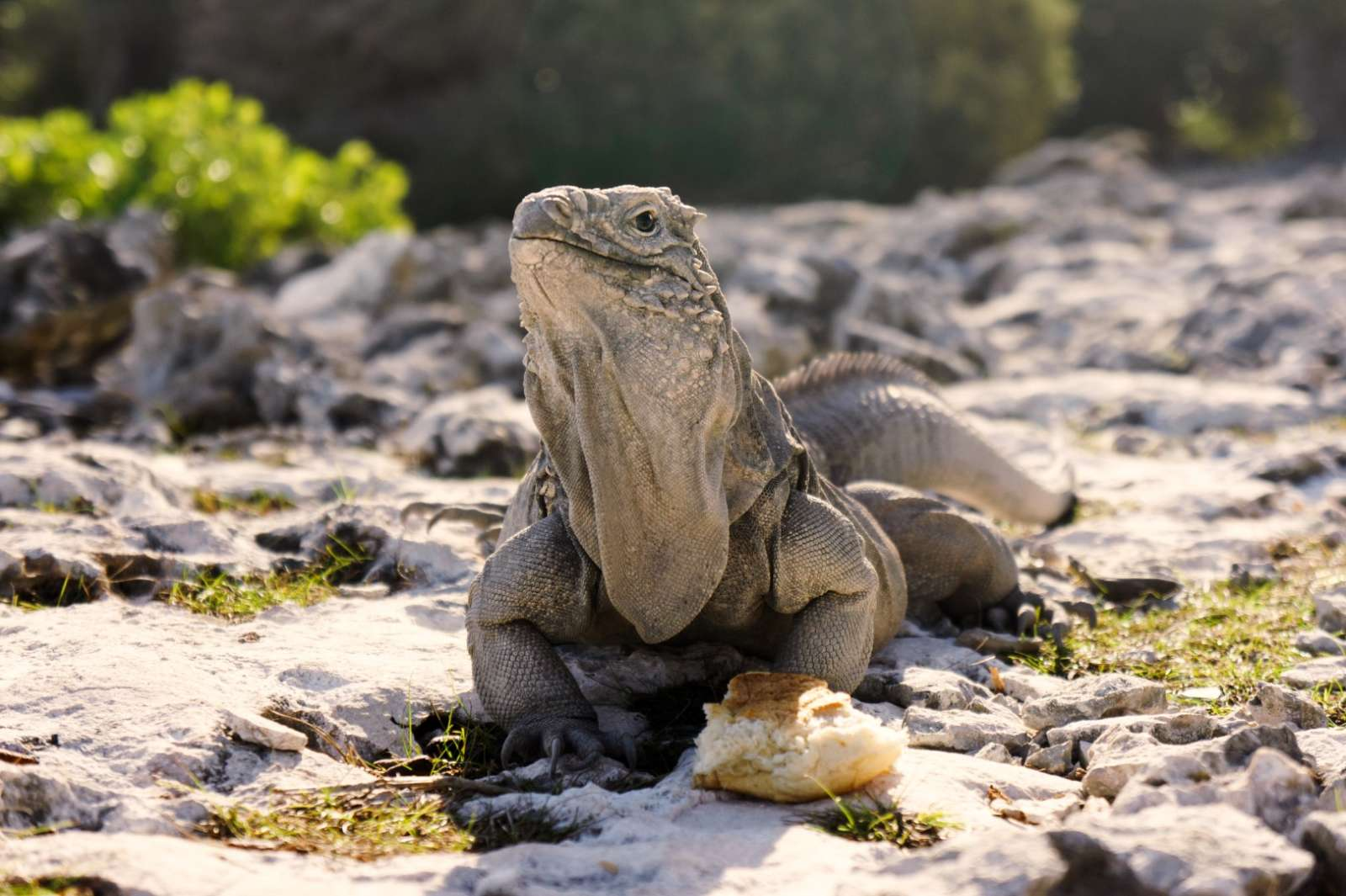 An iguana on Cayo Largo, Cuba
