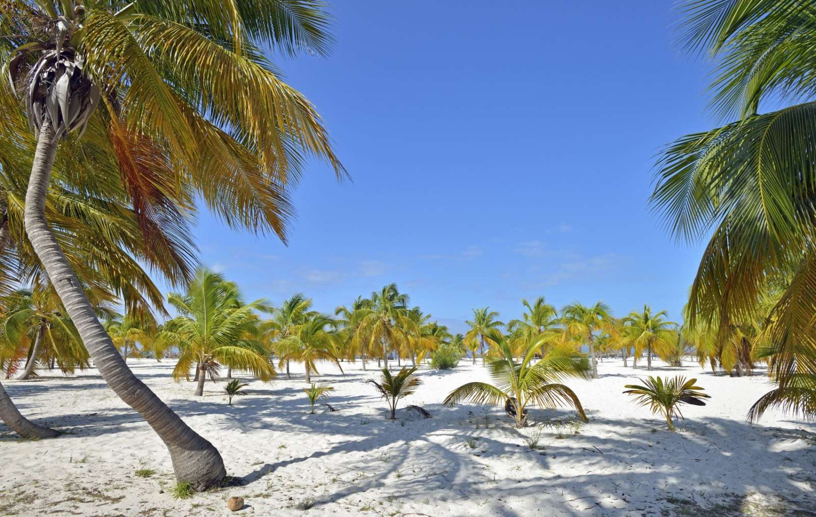 A wide expanse of palm trees on Cayo Largo, Cuba
