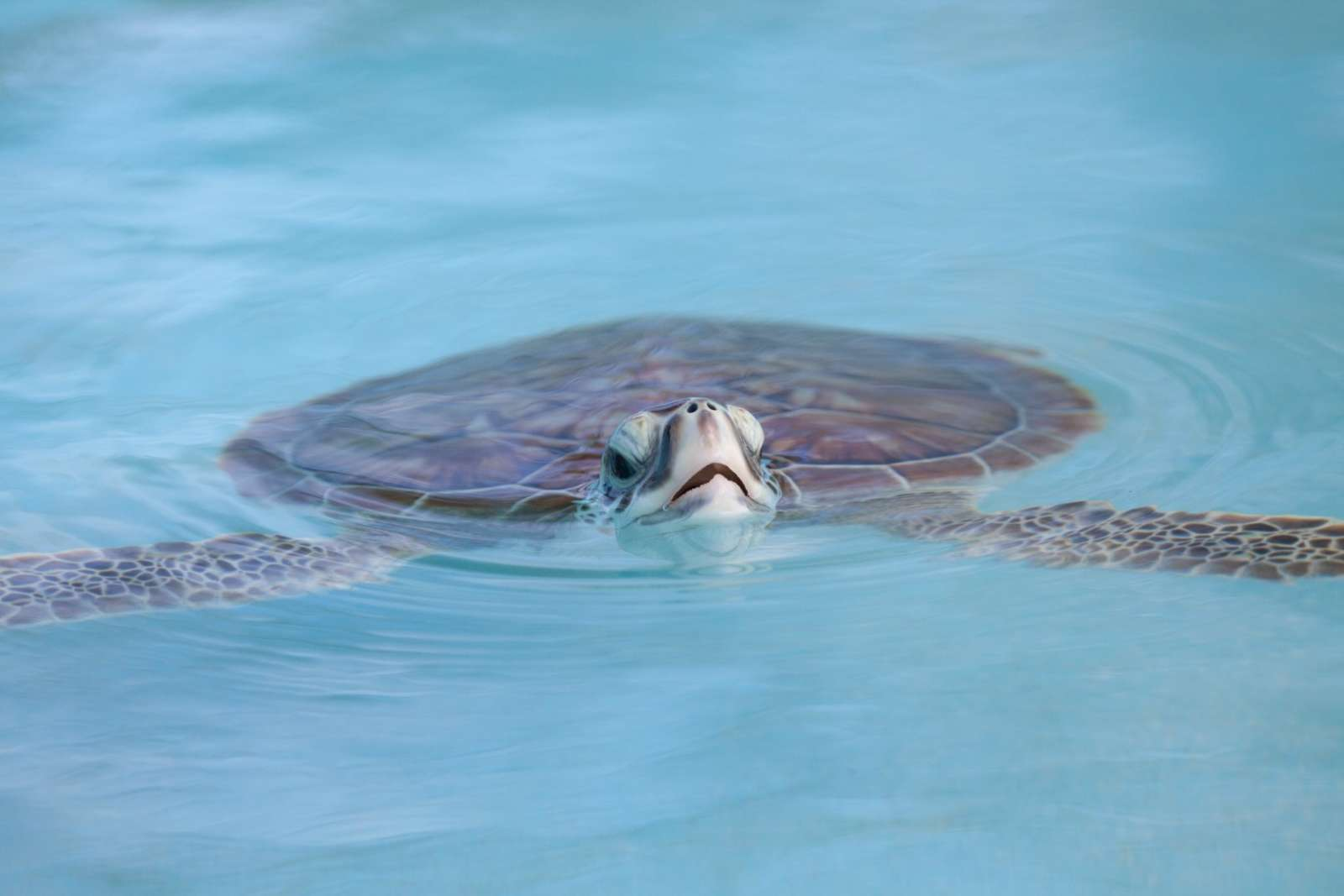 Turtle swimming near Cayo Largo, Cuba