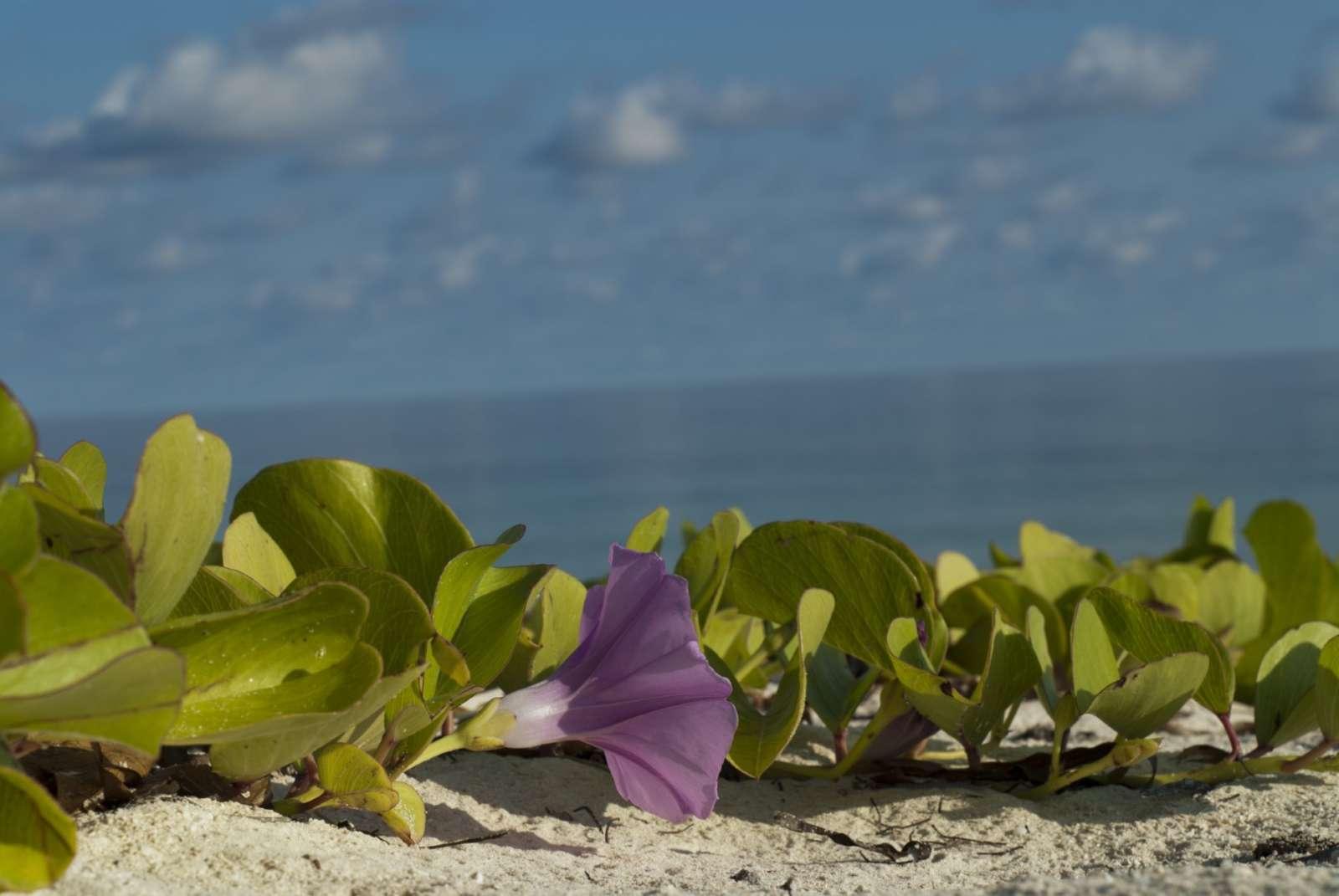 Beach vegetation on Cayo Levisa, Cuba