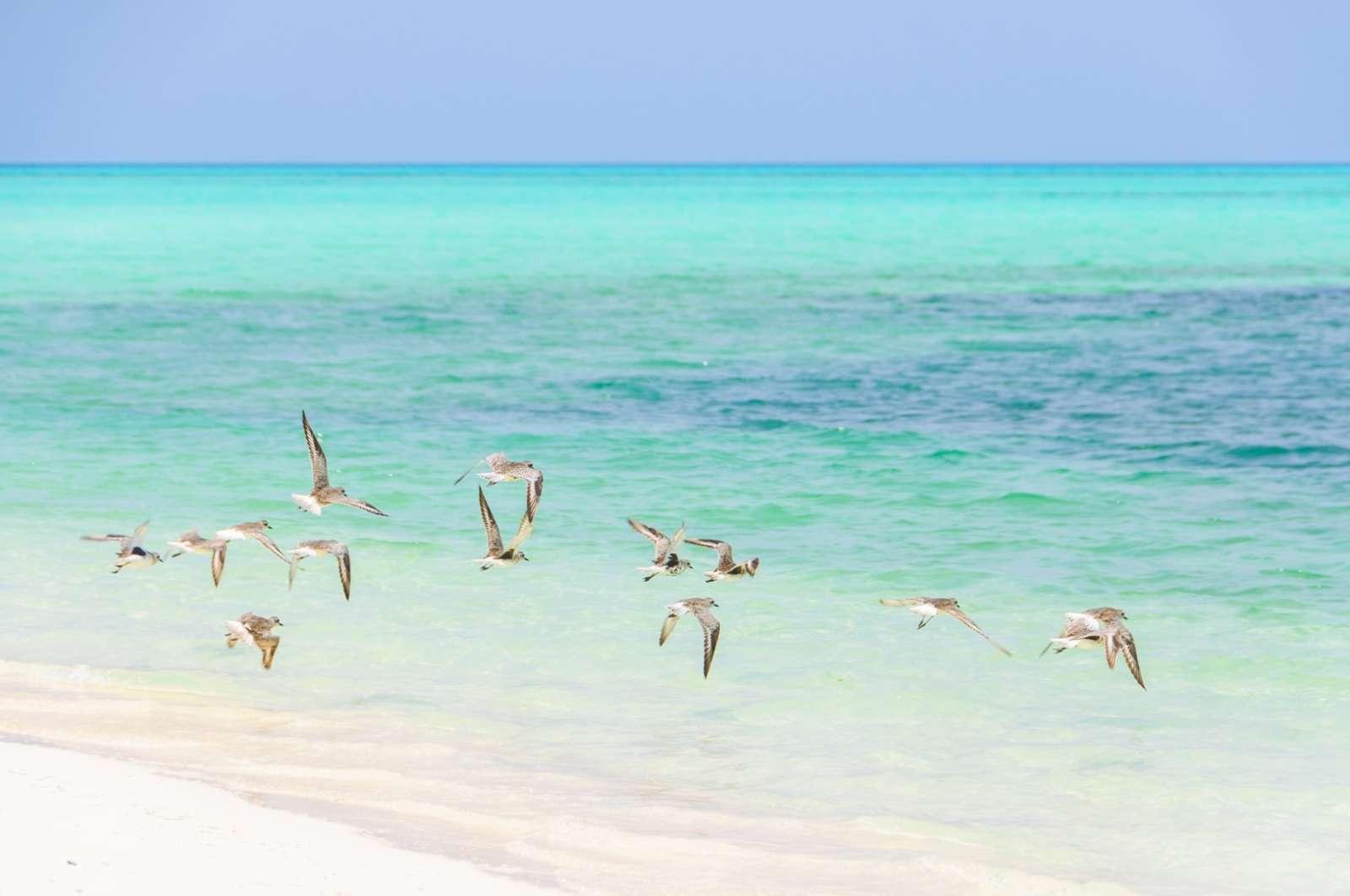 Flock of flying birds on Cayo Levisa, Cuba