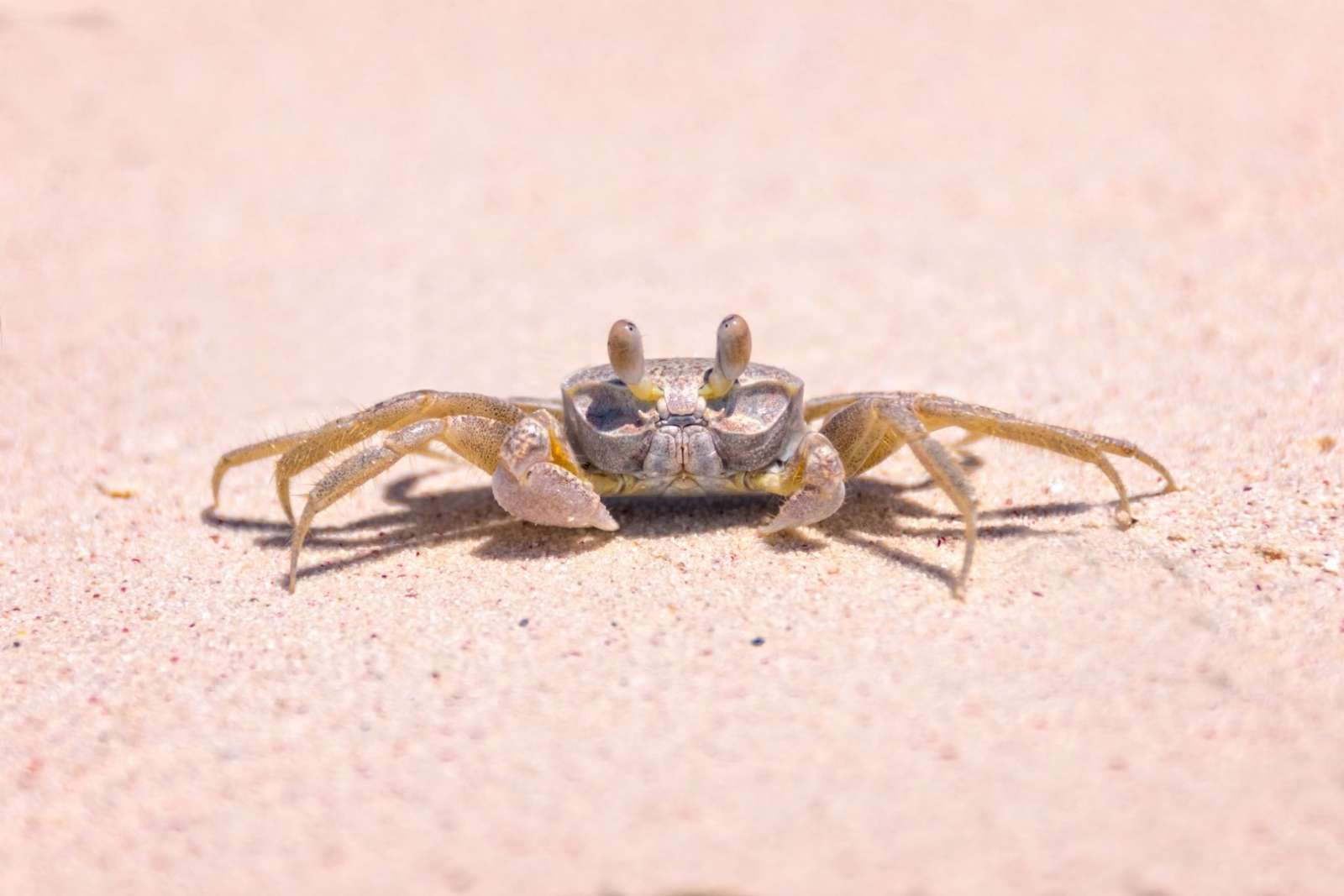 Crab on the beach at Cayo Levisa, Cuba