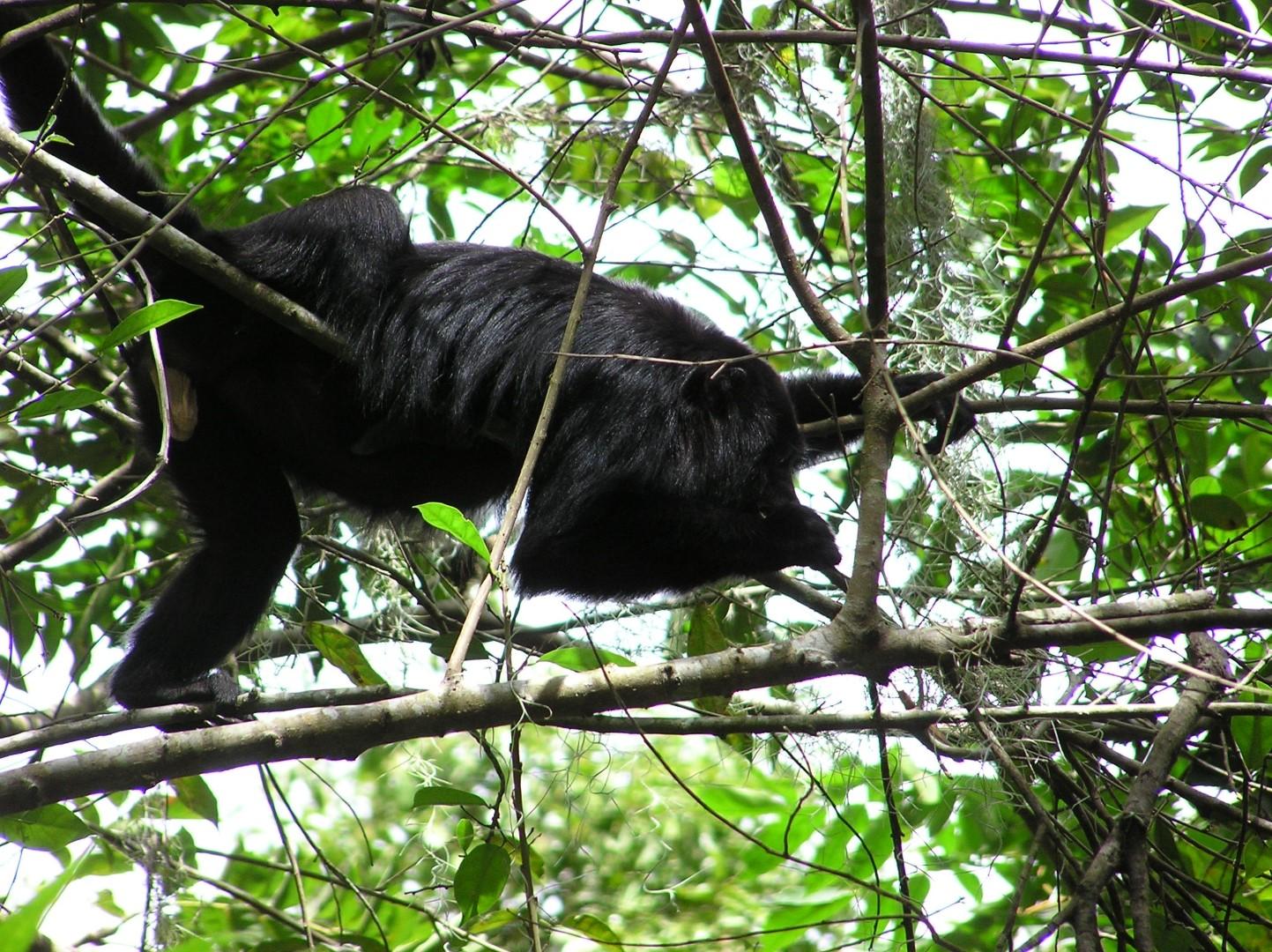 Monkey at Chiminos Island Lodge at Petexbatun