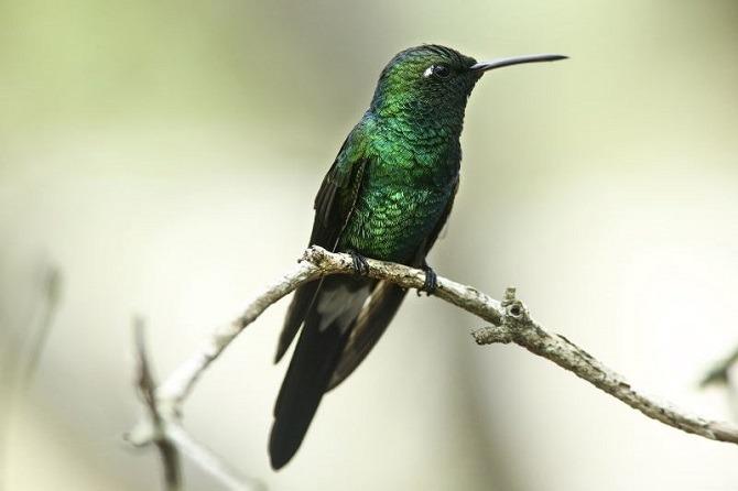 The Cuban Emerald