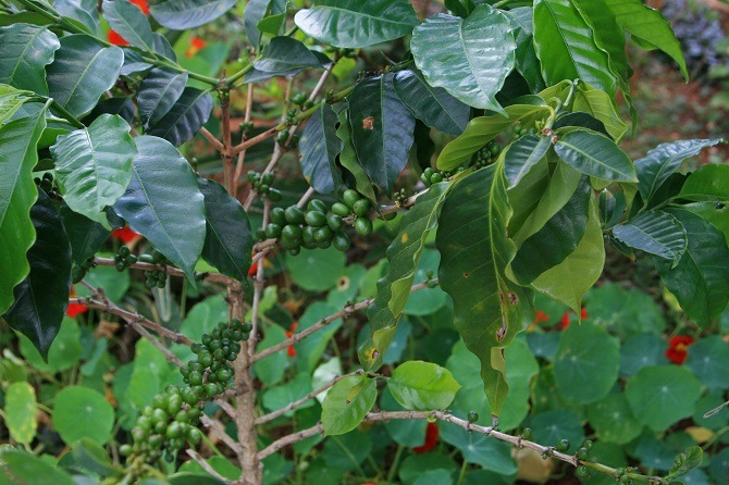 A coffee tree in Guatemala