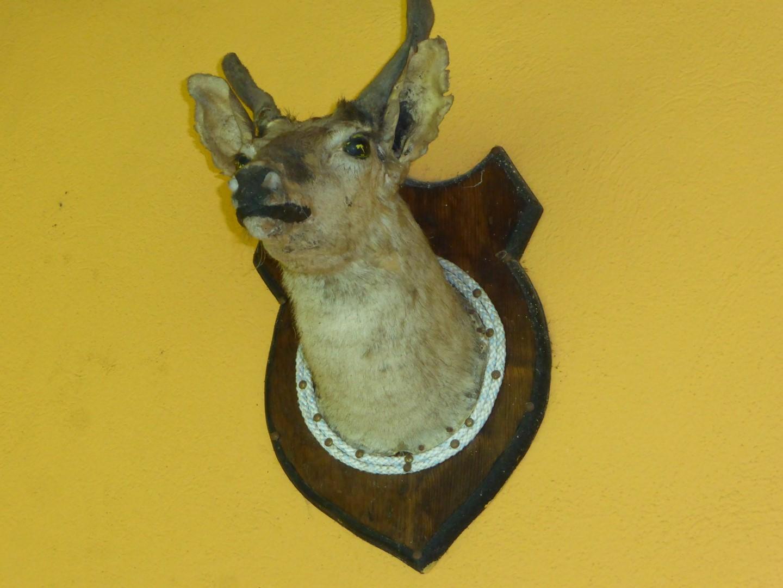 Deer head at Hacienda Mil Amores in Ixil Triangle, Guatemala