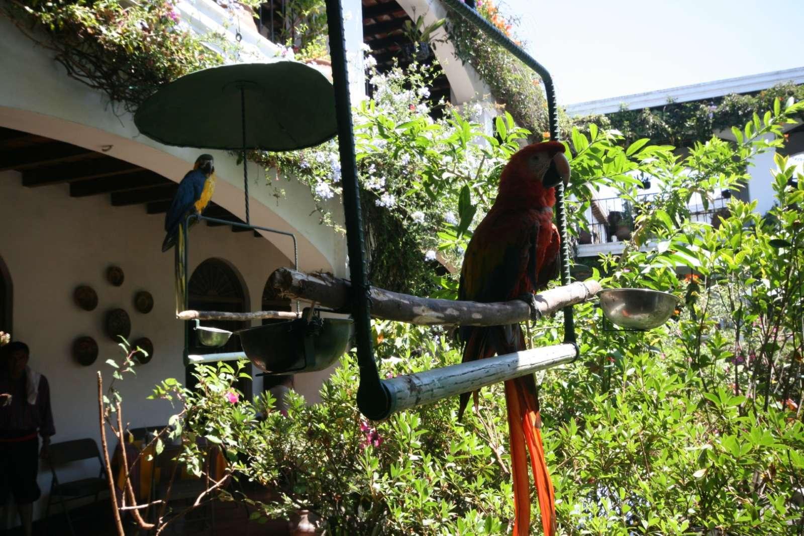 Parrots at Hotel Santo Tomas in Chichicastenango