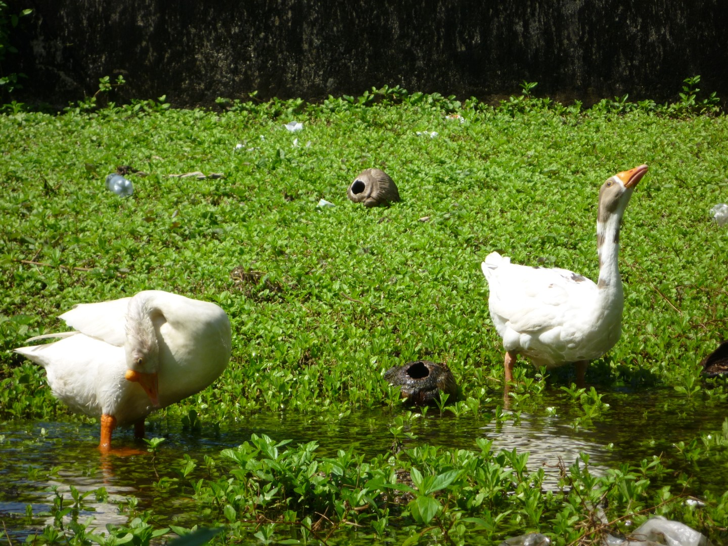 Geese in Livingston, Guatemala