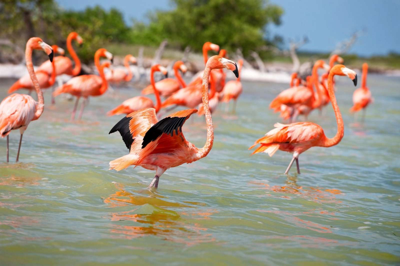 Flamingos in the Yucatan Peninsula