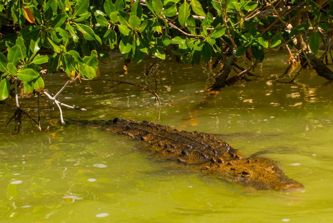 Alligator at Rio Lagartos
