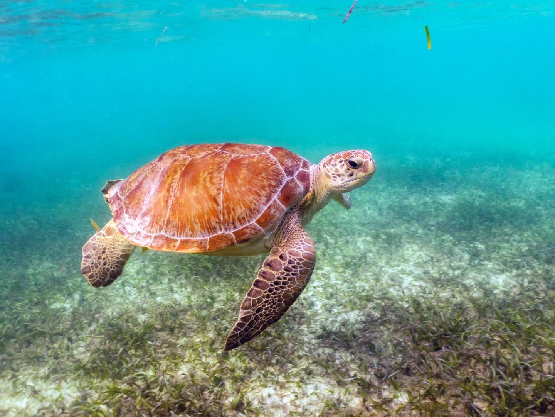 Green sea turtle swimming off the Riviera Maya Mexico