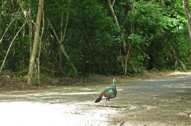 A turkey on the road to Calakmul