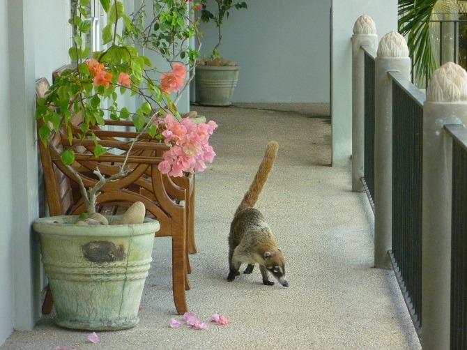 Rocky the Coatimundi going for a stroll around Almond Tree Resort
