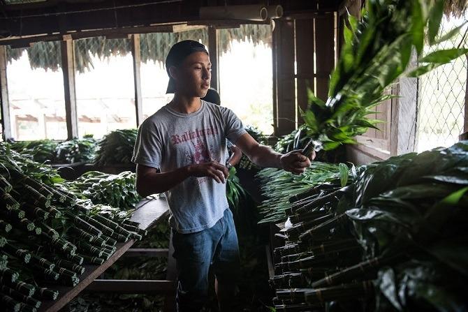 Mayan man sorting plants