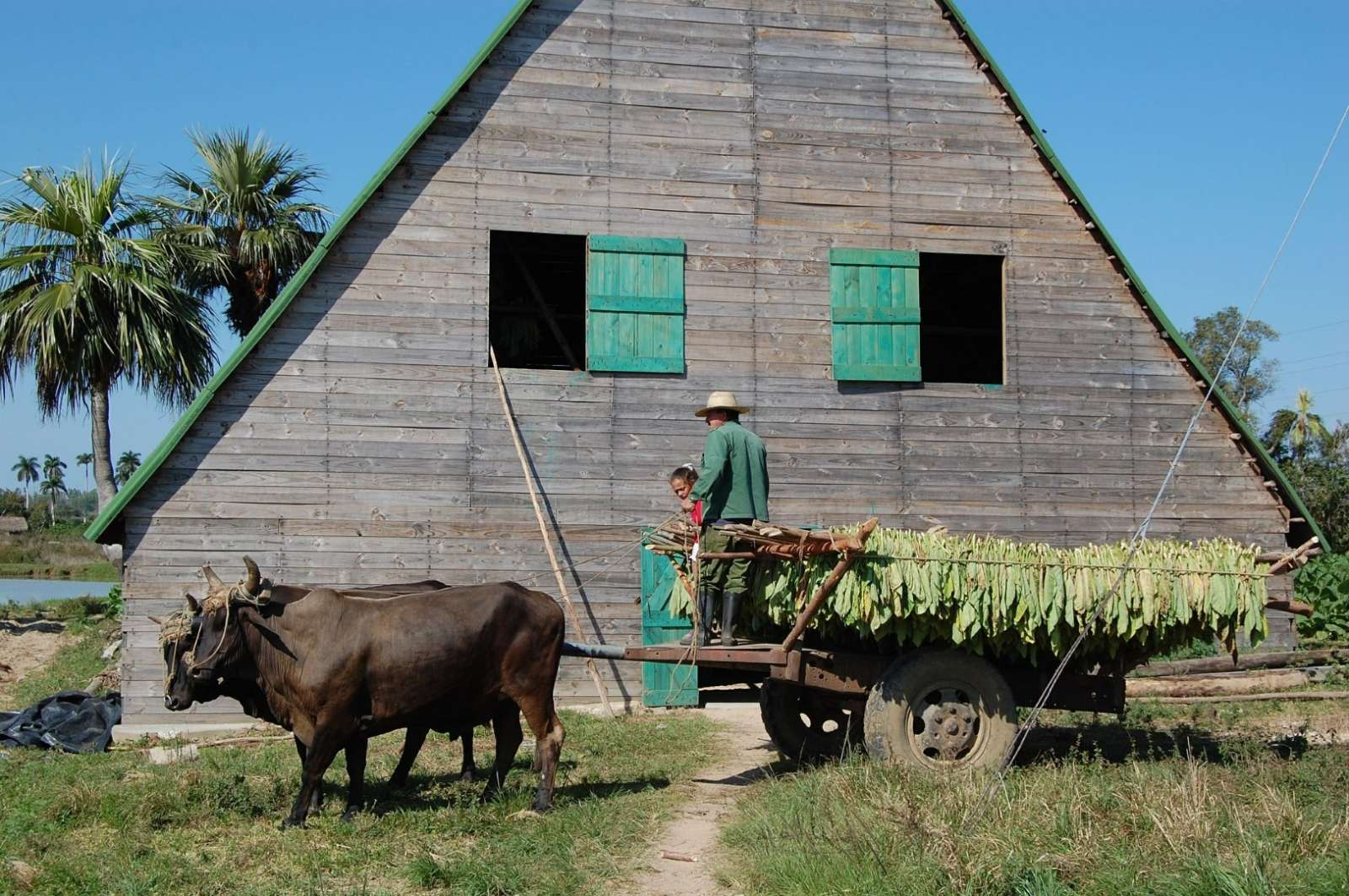 Traditional Vinales tobacco barn and transport