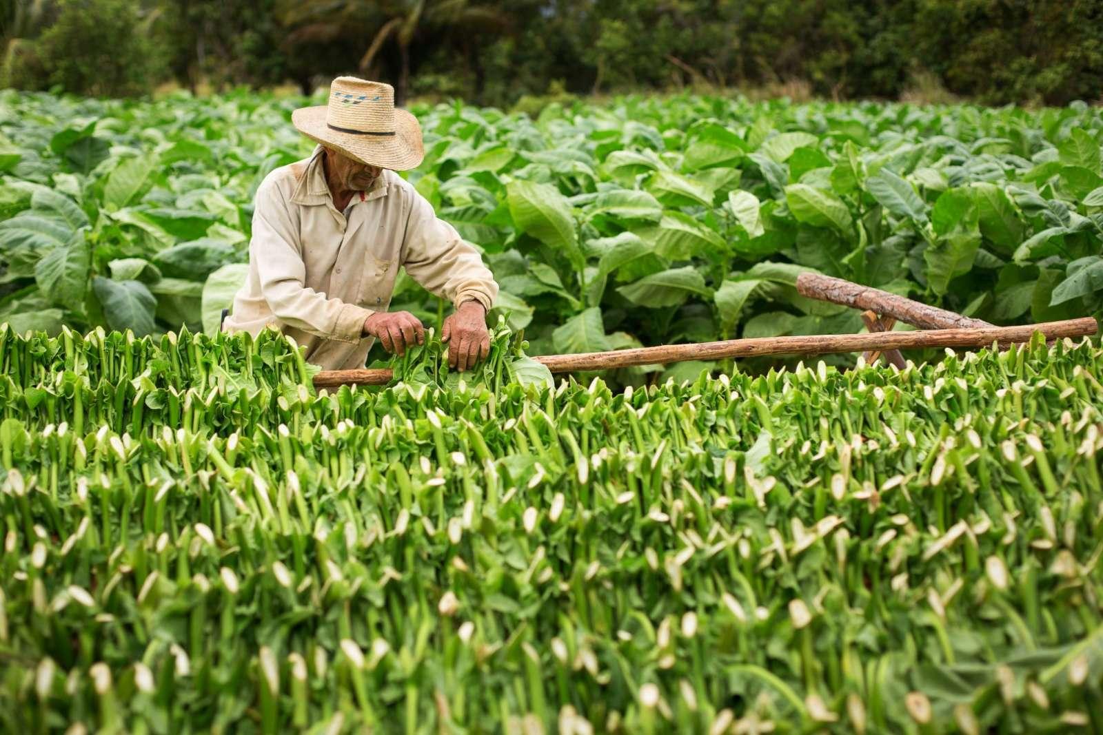 Tobacco farmer harvesting leaves in Vinales, Cuba