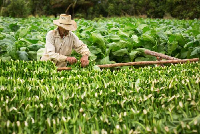 Tobacco tour of Vinales in Cuba