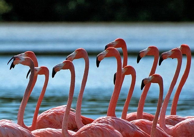 Flamingos in the Yucatan Peninsula Mexico