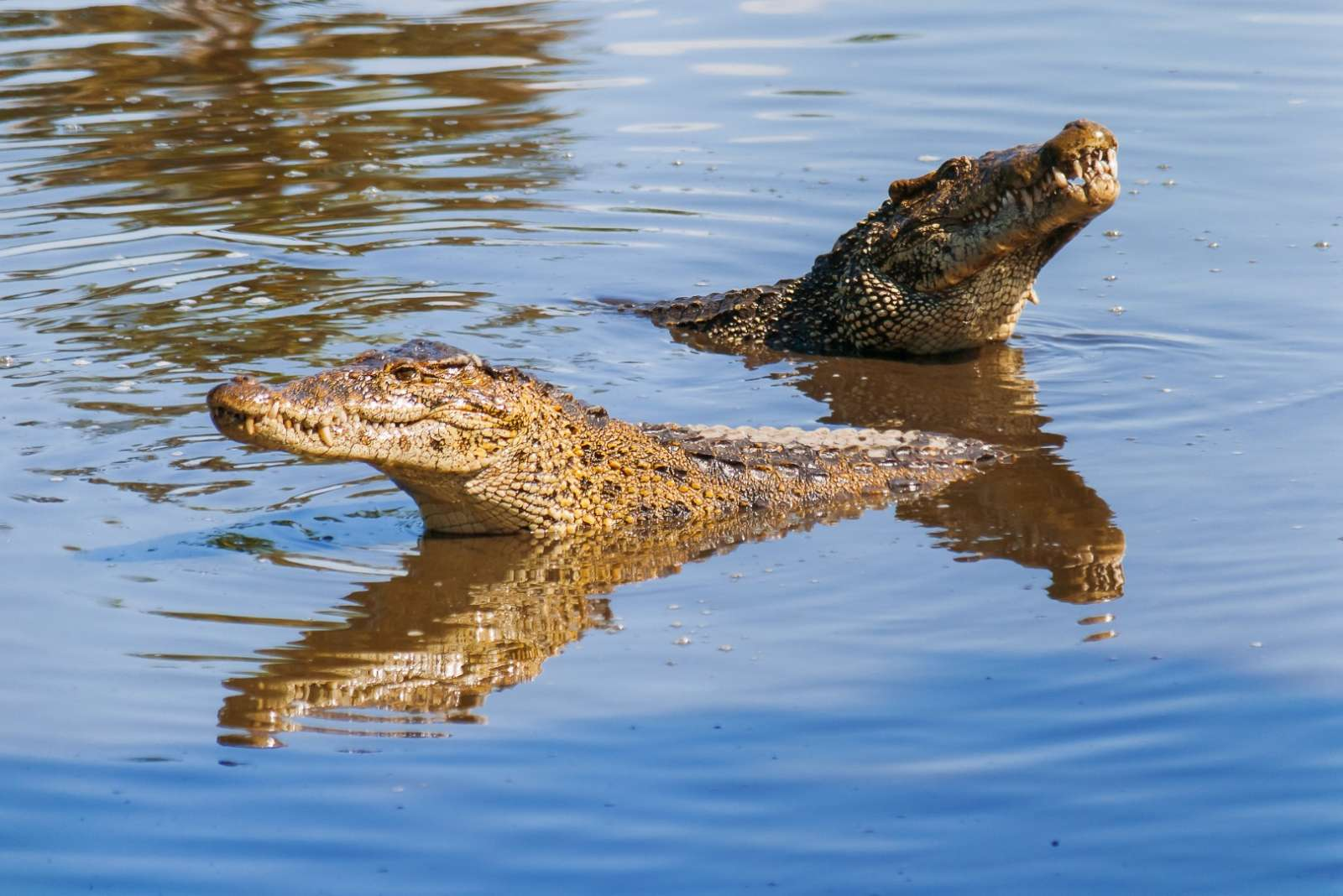 Cuban crocodiles in the Zapata Peninsula, Cuba