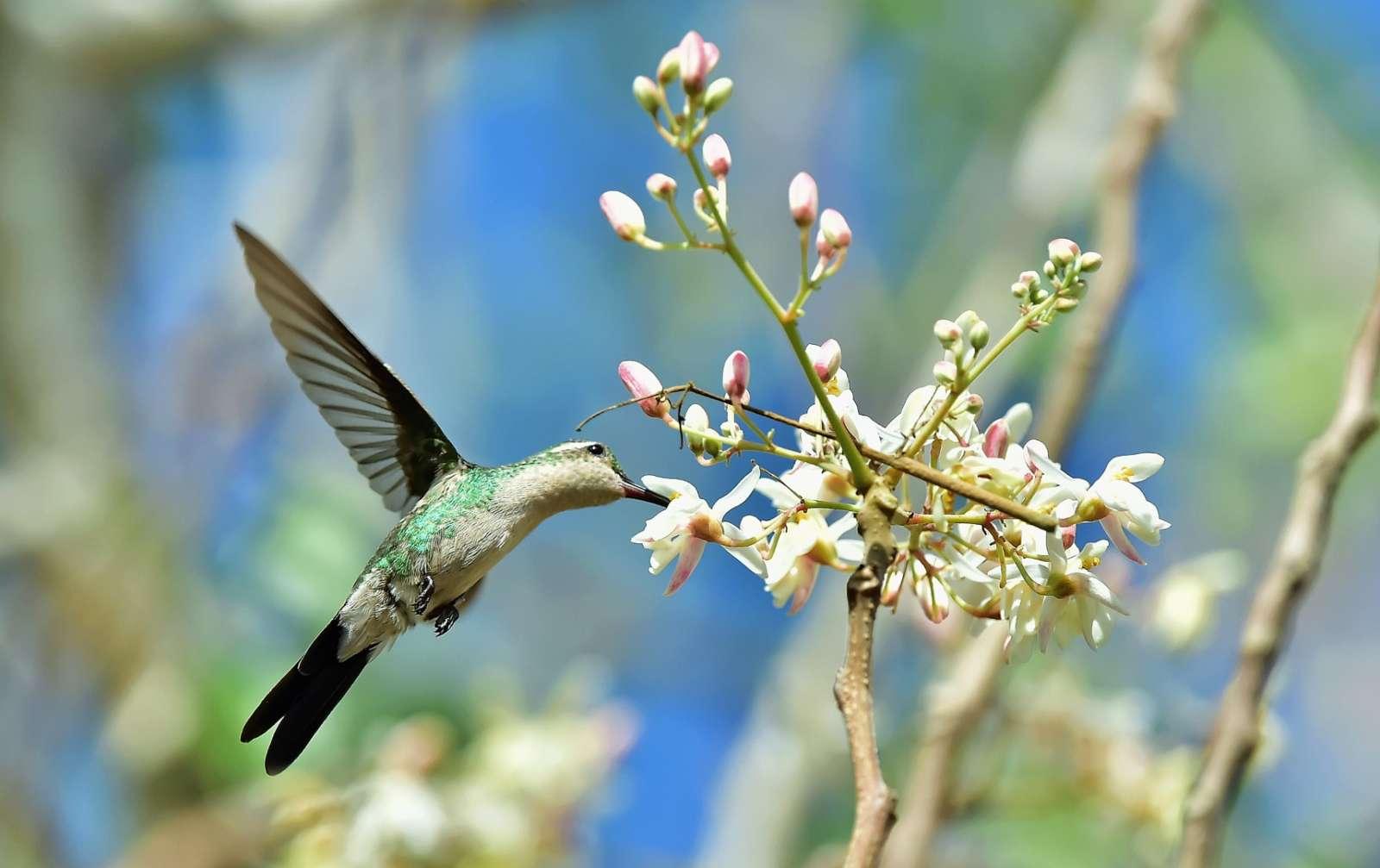 Cuban Bee Hummingbird in the Zapata Peninsula