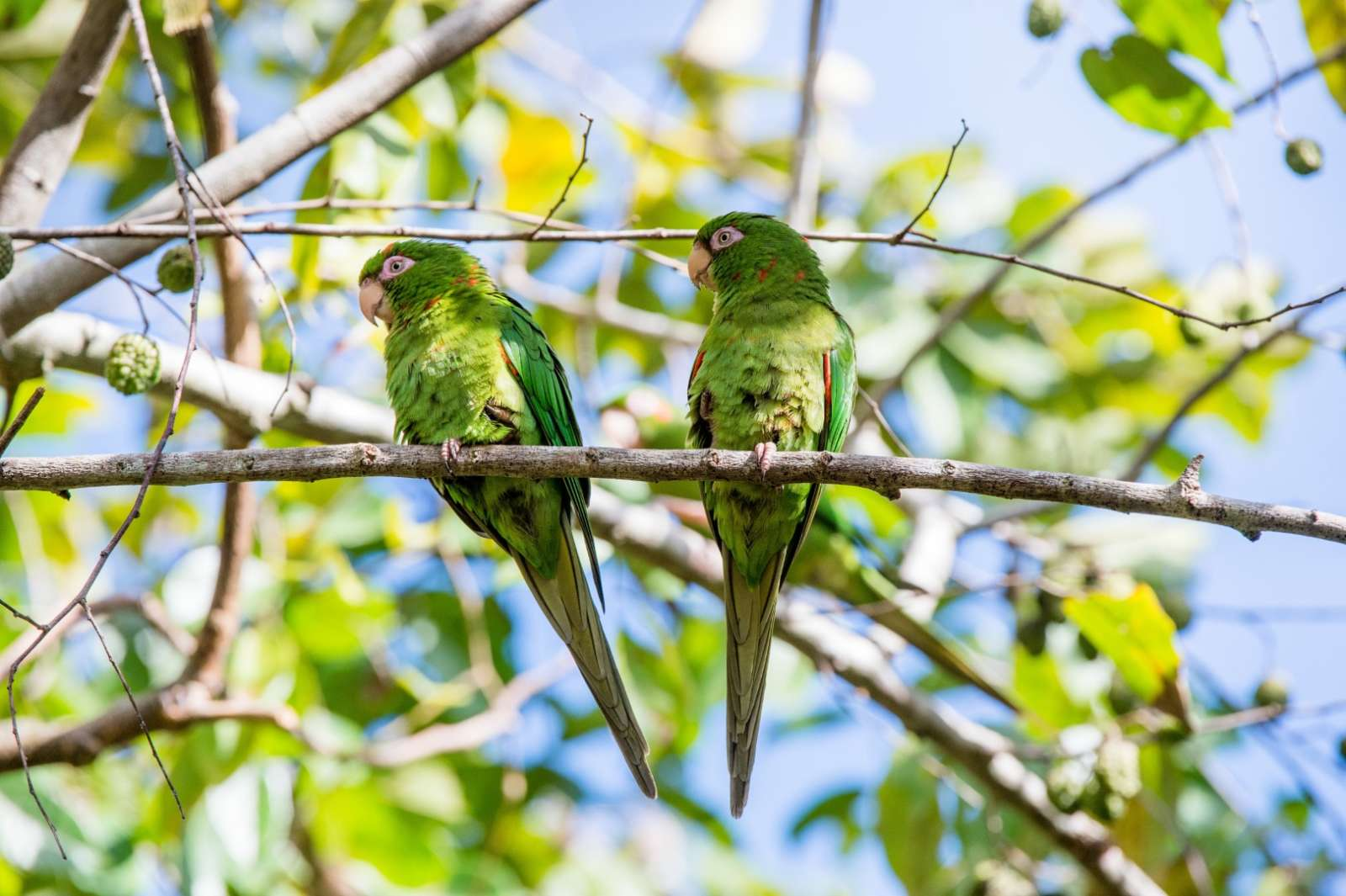 Cuban Parakeets in the Zapata Peninsula