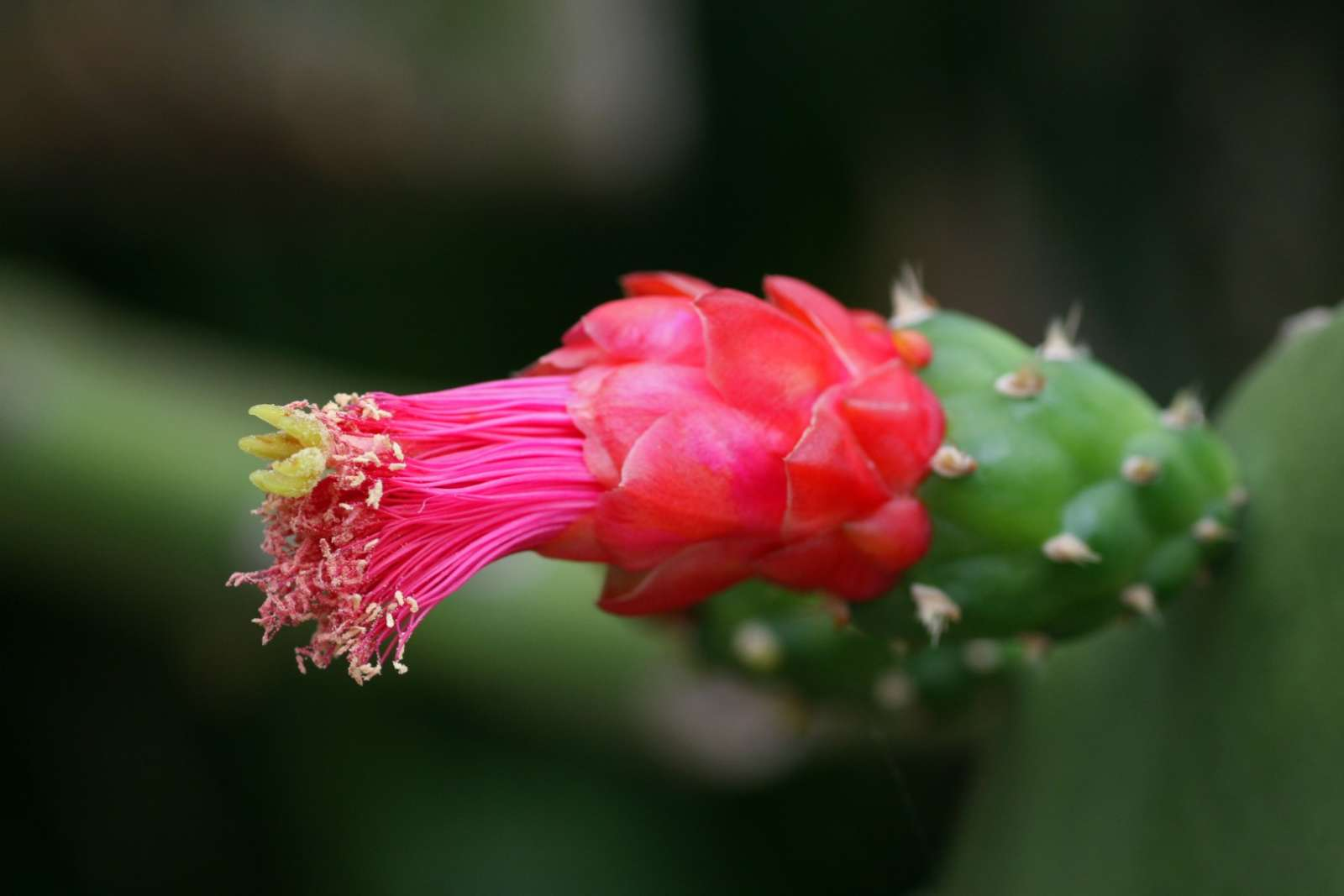 Opuntia flower in the Zapata Peninsula, Cuba