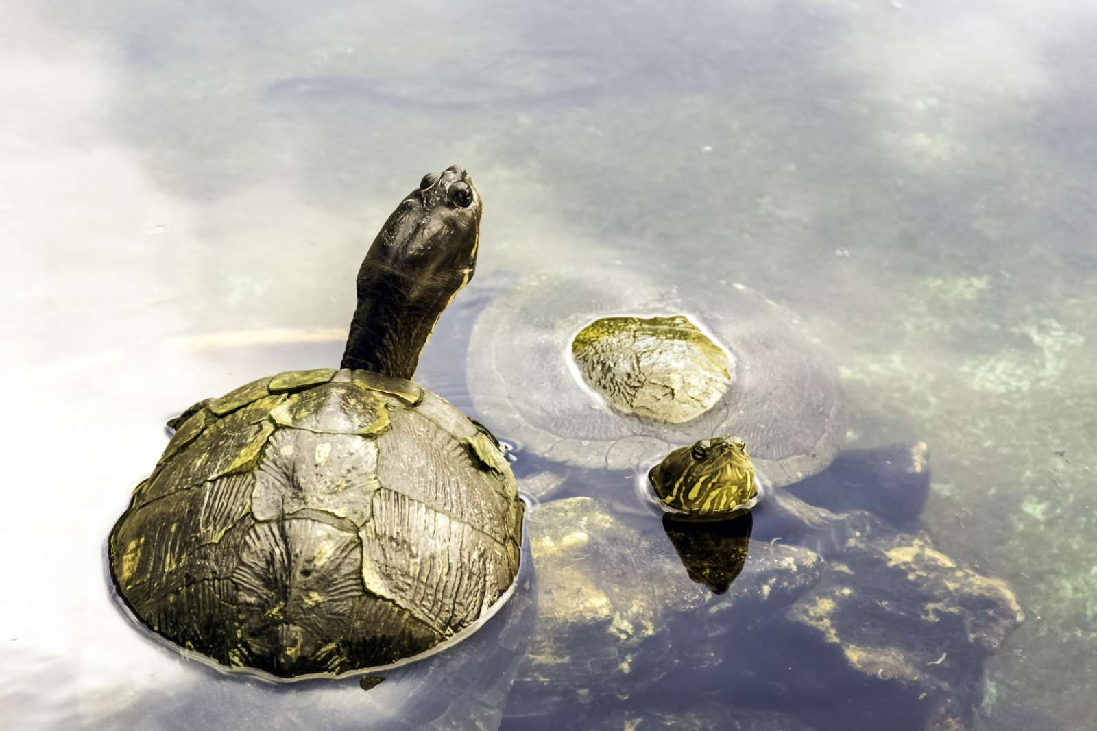 Cuban Slider Turtle in the Zapata Peninsula