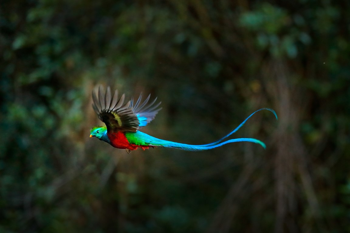 A Quetzal in-flight in Guatemala