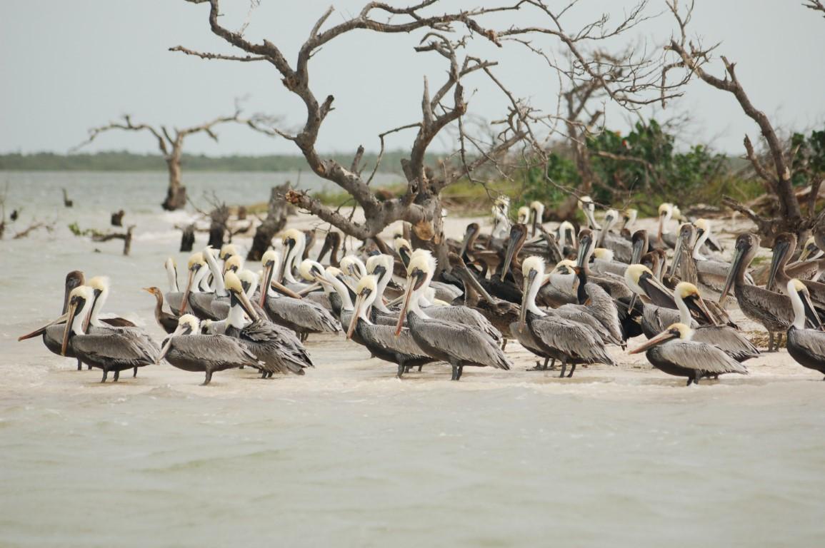 Pelicans resting along the coastal mangrove