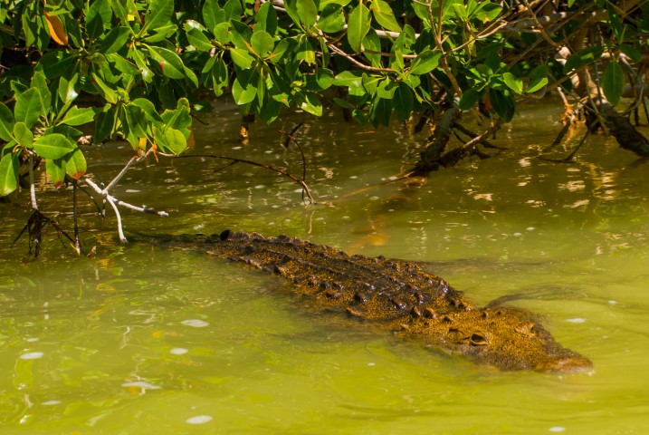 A crocodile swimming in Rio Lagartos