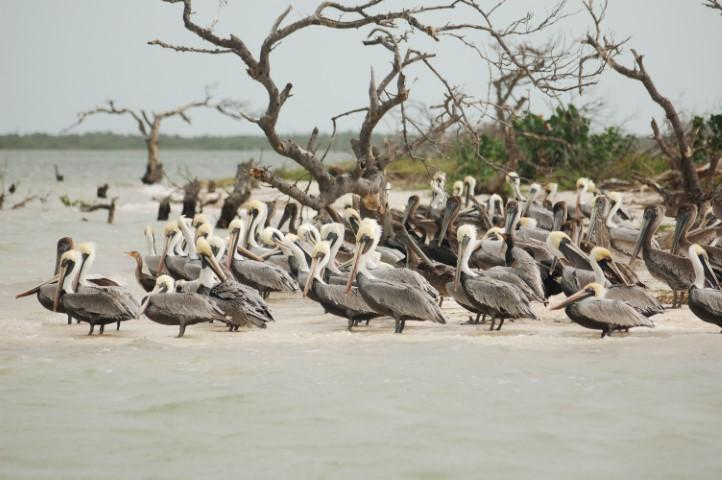 Rio Lagartos Pelicans
