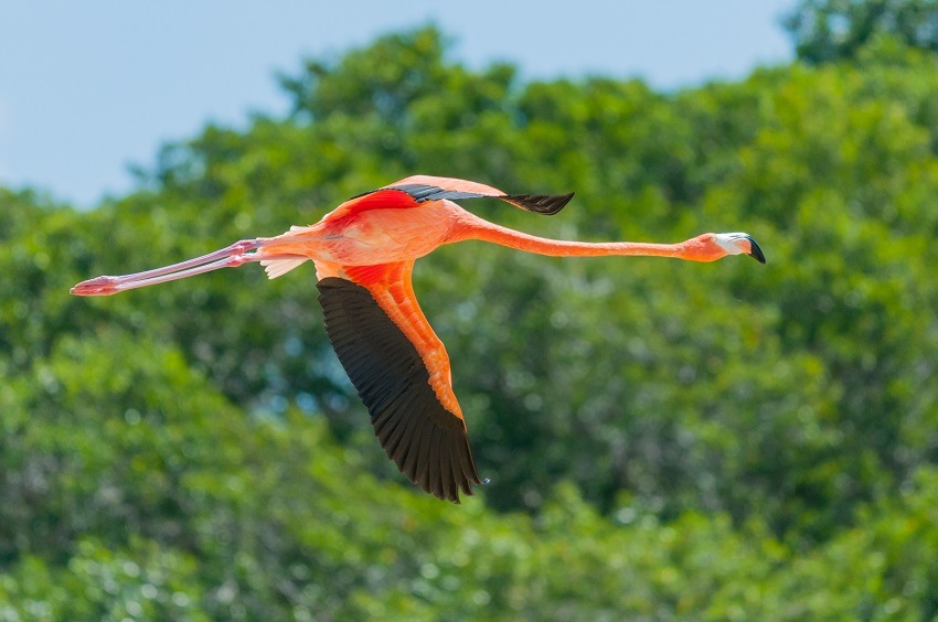 Flamingo in flight at Celestun