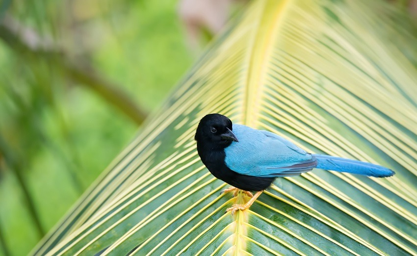 Yucatan Jay Bird on a palm branch