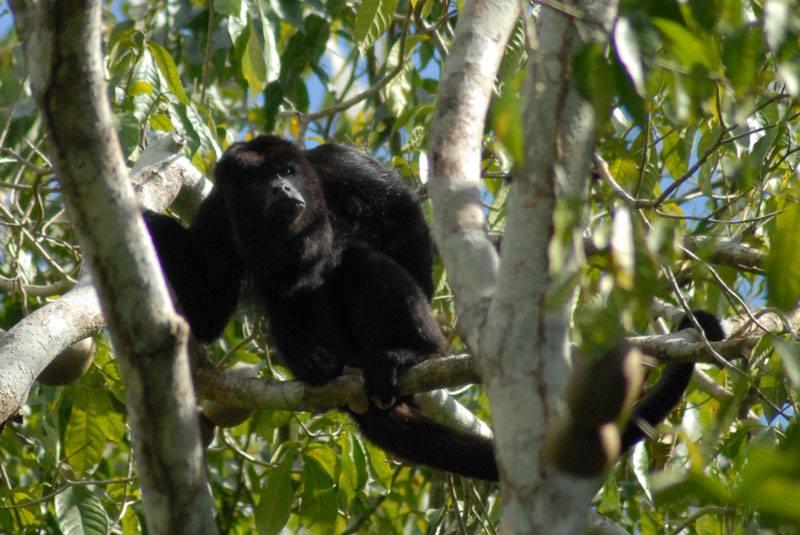 A howler monkey at Ixpanpajul Natural Park