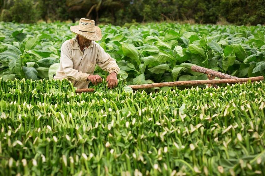 A farmer growing tobacco