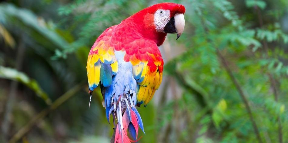 Scarlet macaw in Copan Honduras