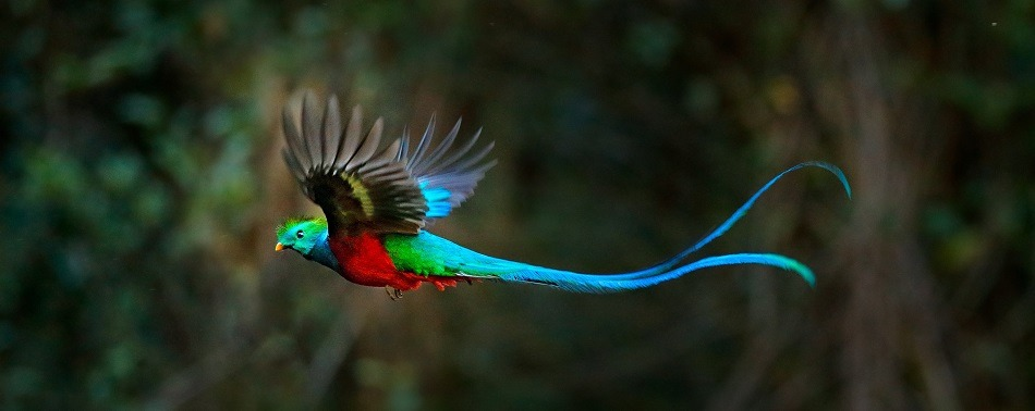 Quetzal in flight