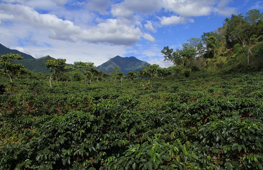 Coffee growing at the base of a volcano