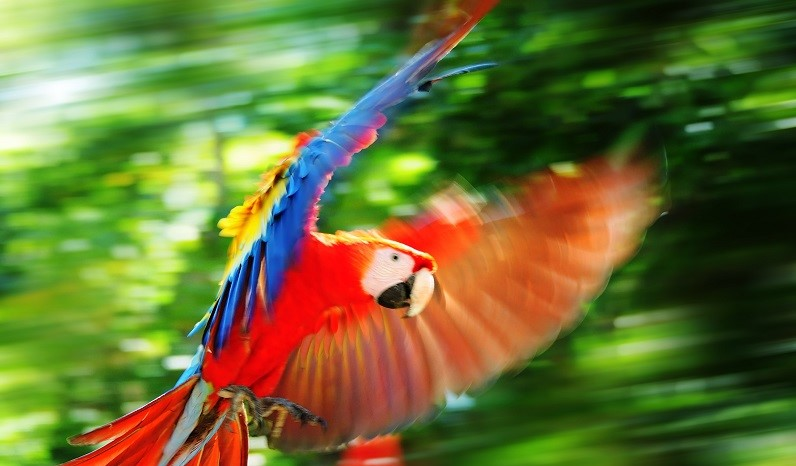 Scarlet Macaw In Copan, Honduras
